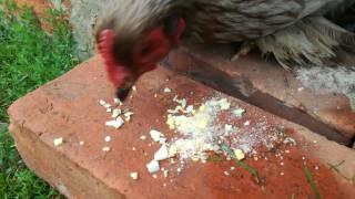 Kura kochin z małymi kurczakami