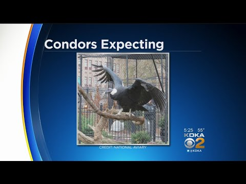 National Aviary: Andean Condors Lay Egg, Expected To Hatch In May