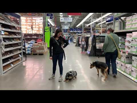 6 Month Old Australian Cattle Dog | Best Dog Training Oklahoma | Board And Train
