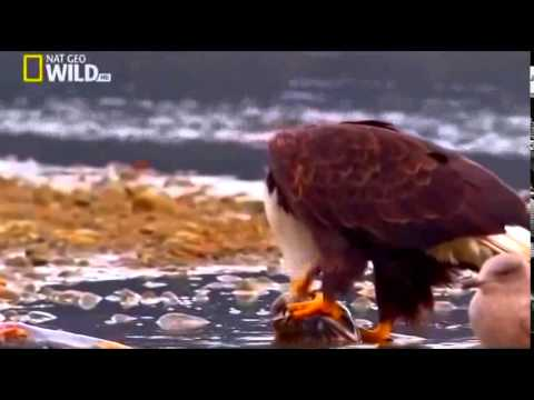 HD Documentary - The American Bald Eagle  | National Geographic Docuemntary
