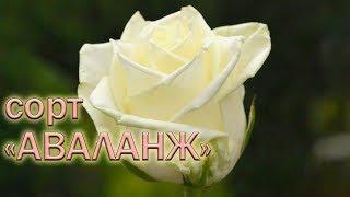 видео Чайно-гибридные розы : Саженцы розы сорт Аваланш