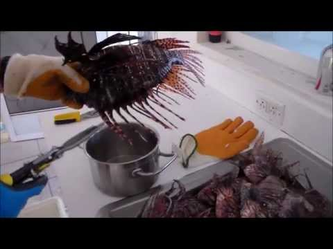 How To Clean A Lionfish And Remove The Venomous Spines.
