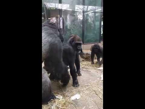Amsterdam Artis Royal Zoo - Gorilla Love