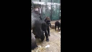 Amsterdam Artis Royal Zoo - Gorilla Love