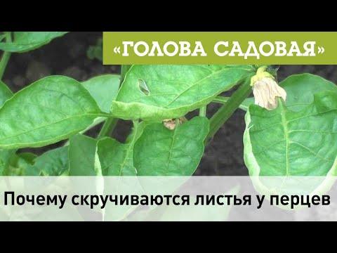 Голова садовая Почему скручиваются листья у перцев