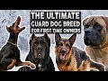 The BEST Guard Dog Breed For First Time Owners!!
