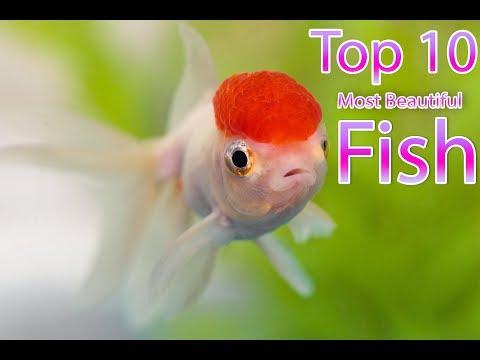 Beautiful Fish In The World   Top 10 Fish