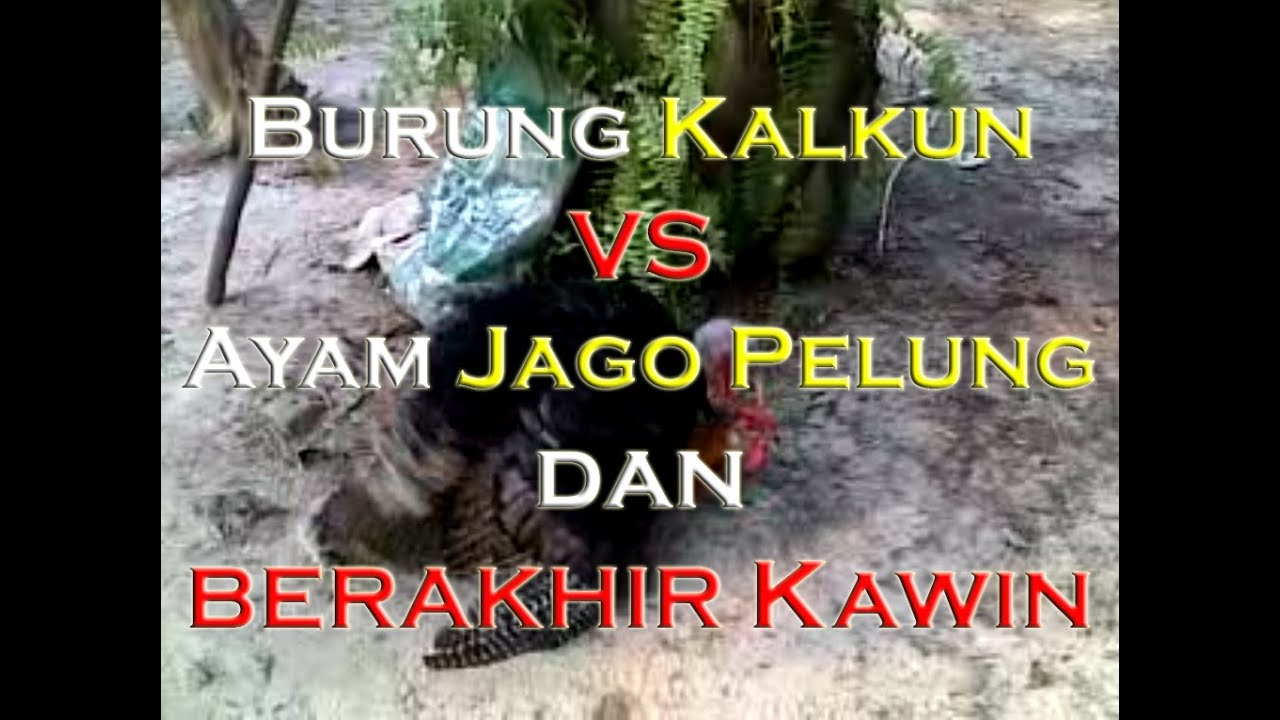 Adu Anak Ayam Pelung Vs Kampung By Adi Arief Rahman
