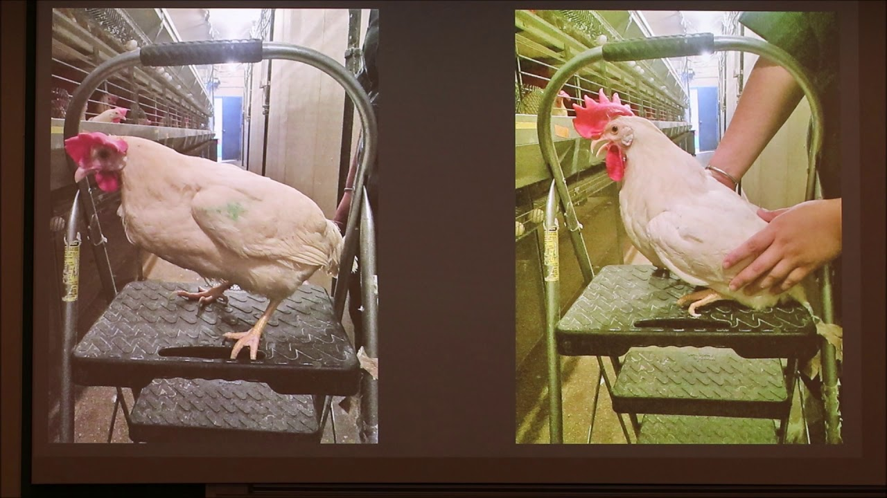 sex reversal in poultry