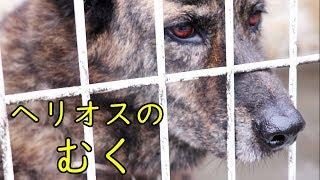 こげ茶色のムクは琉球犬(りゅうきゅうけん)のミックスだそうです。 純...