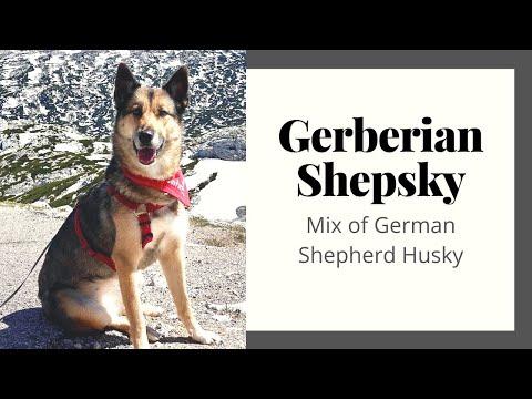 Gerberian Shepsky - The Great Mix Of German Shepherd Husky
