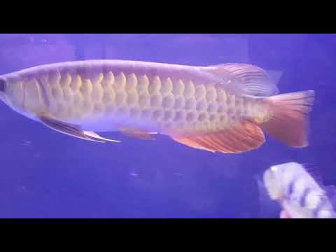 Arowana  (RTG) for sale low price  (Shipping free) contact in comments