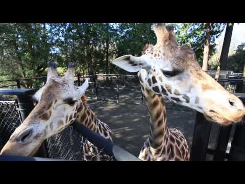 Thumbnail: Pregnant Giraffe Tufani Eats for Two