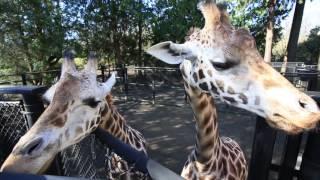 Pregnant Giraffe Tufani Eats for Two