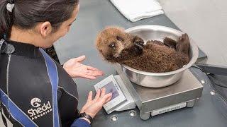 Otter Weigher
