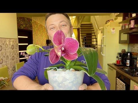 Вопрос: Какой вид орхидей называют Орхидея балерина Что о ней известно?
