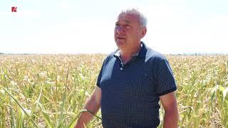 450 de hectare de porumb afectat de secetă va ramane ingrasemant pentru sol. Roada compromisa 100%