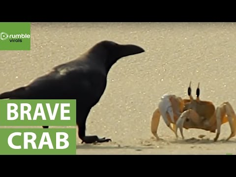 Lone crab fends off hungry crows desperate to eat him