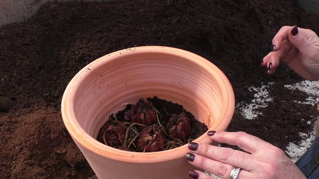 How To Plant Lily Bulbs You