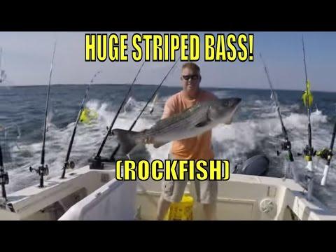 Spring Rockfish HUGE STRIPED BASS Chesapeake Bay