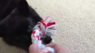 Tina's Tiny Playful Puppy Buddy Bear Chews Craig (aka The Living Teddy Bear)