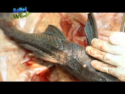 Doc Ferds Dissects An Invasive Catfish | Born To Be Wild