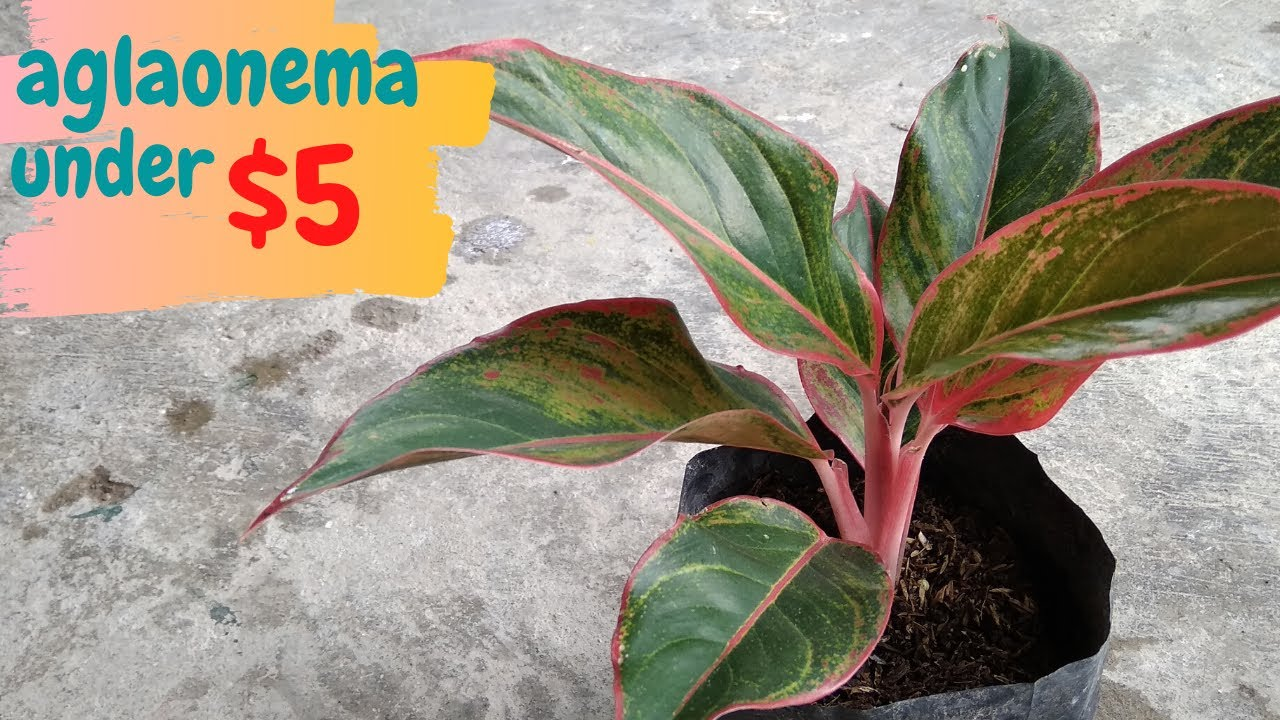 Type of Aglaonema Under $5 - YouTube