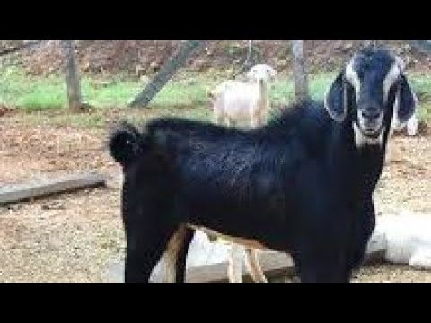 Goat farming in tamil - Tips to start goat farming in tamilnadu