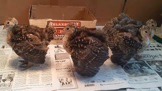 Gobbling Baby Turkeys - Amazing Video