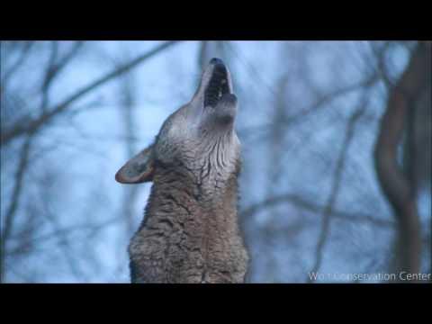 Red Wolfs Twilight Howl