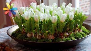 Как вырастить тюльпаны к Новому году дома? – Все буде добре. Выпуск 901 от 24.10.16