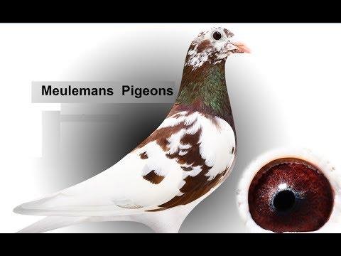 Meulemans Racing Pigeons