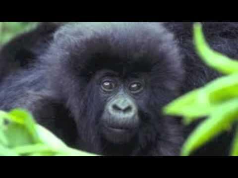 Apina Ja Gorilla