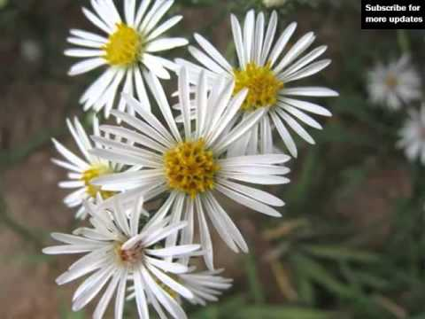 wedding ideas of white asters flowers  white asters flowers, Beautiful flower