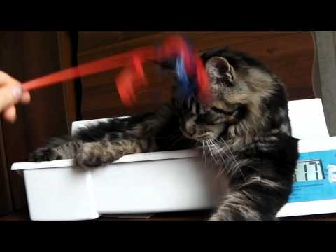 Вес мейн-куна . Maine Coon Cat ,  питомник ЛИРИКУМ