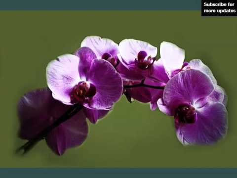 dark purple orchid flowers  beautiful flower picture collection, Beautiful flower