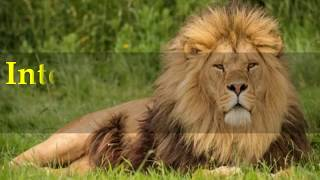 Interesting American lion Facts