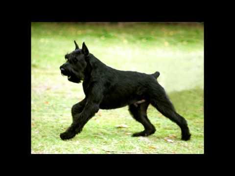 Top 10 Guard Dogs Chosen by Cesar Millan