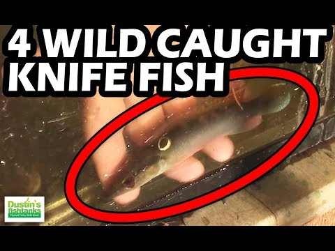 FREAK FISH TUESDAY: 4 WILD CAUGHT Knife Fish