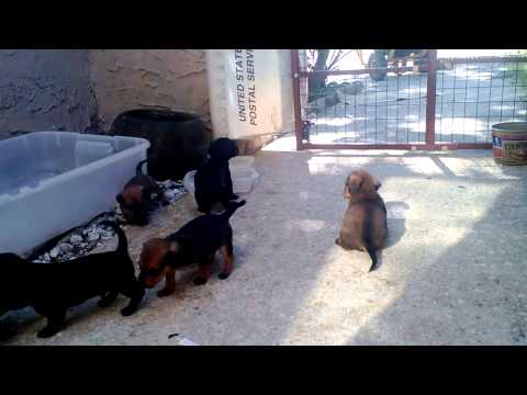 8 Cutest Puppies: Mixed Dachshund And Chihuahua W/ Mom And Dad