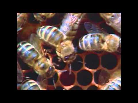 C13137   Selection of Honeybees Aiming for Vitality