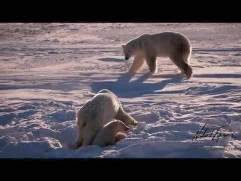 Vídeo  crías de oso polar muriendo de hambre