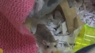 How To Take Care Of Roborovski Hamsters