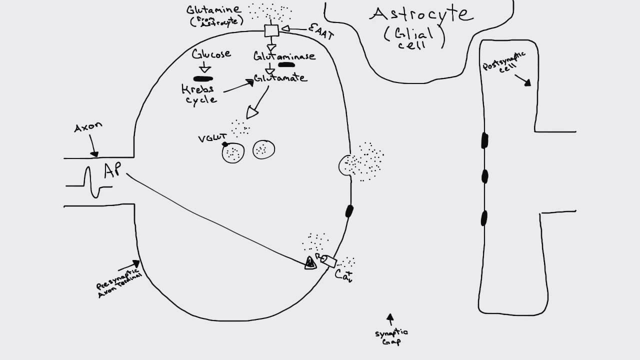 Glutamatergic synapse youtube glutamatergic synapse ccuart Images