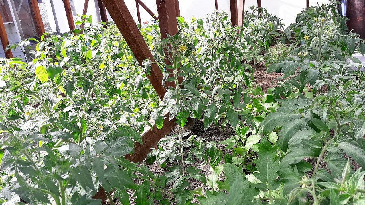 Помидоры и перец 6 мая.Как растут при резких перепадах температуры