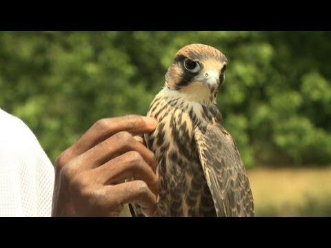 With falconry, a chance to fly from street crime