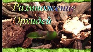 Размножение орхидей(This video is about Размножение орхидей Небольшое примечание, когда вы начинаете эксперимент , то ваша орхидея..., 2015-12-21T10:48:31.000Z)