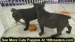 French Bulldog, Frenchie, Puppies, Dogs, For Sale, In Jacksonville, Florida, FL, 19Breeders, Orlando