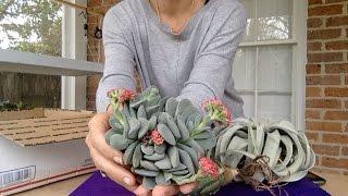 видео Aloe TOMENTOSA (Алоэ) - Суккуленты и каудексные  - Интернет-магазин - Адениум дома: от семян до растений. Выращивание и уход.