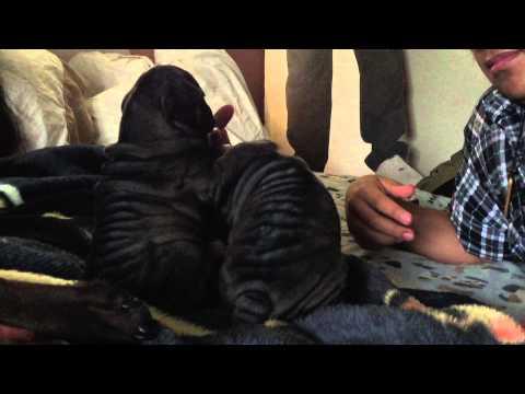 Bull-Pei Puppies (English Bulldog/Chinese Shar-Pei Mix)
